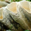 THE GIANT CLAM - FAMILY - Tridacnidae - the Indo-Pacific by Magriet Meintjes