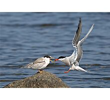 Feeding Time - Common Terns, Ottawa, Ontario Photographic Print