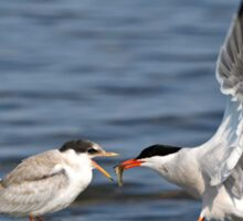 Feeding Time - Common Terns, Ottawa, Ontario Sticker