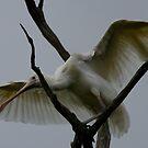 Yellowbill Spoonbill by Murray Wills