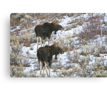 Double Bull Moose Canvas Print