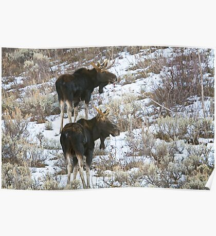 Double Bull Moose Poster