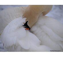 Swan-tastic Photographic Print