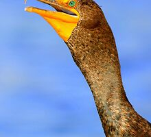 Double-crested Cormorant by DavidQuanrud