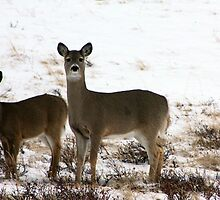 Whitetail Pair by Alyce Taylor