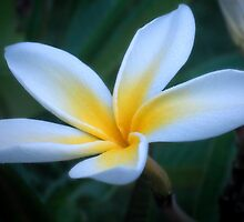 Pretty plumeria by Kimberly Kay Spies