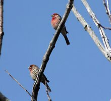 Male House Finches by Alyce Taylor