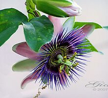 """Passion Flower"" by Gail Jones"