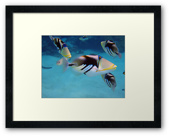 Picasso Triggerfish by bazcelt
