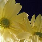 A Pair of Yellow Daisies by Orest Macina
