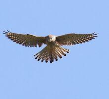 A kestrel 'feathers' by MisterD