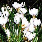 Spring Delight by Sviatlana