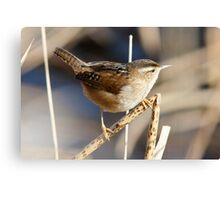 Marsh Wren on the Lookout Canvas Print