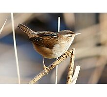 Marsh Wren on the Lookout Photographic Print