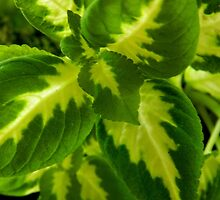 Striated Green    ^ by flowers2love