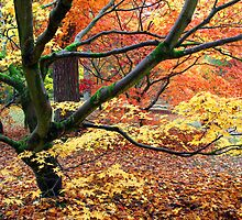 Japanese Acer Woodland in Autumn by nymphalid