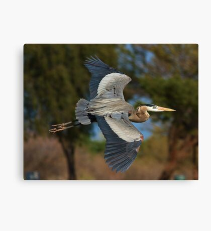 030710 Great Blue Heron Canvas Print