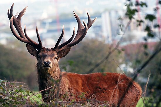 Startled suburban Red Deer Stag by nymphalid