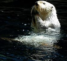 Sea Otter shaking up his dinner by Marjorie Wallace