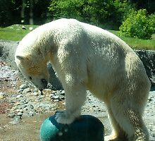 Polar Bear trying to crush the ball by Marjorie Wallace
