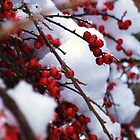 Red Berries Covered in Snow by MichelleRees
