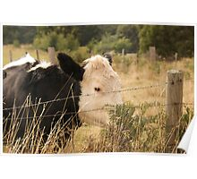 Curious Cows 1 Poster