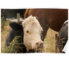 Curious Cows 2 Poster