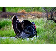 WILD TURKEYS Photographic Print