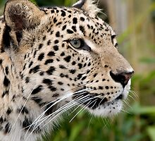 Persian leopard portrait by buttonpresser