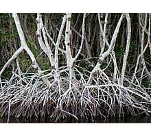 Mangrove Roots Photographic Print