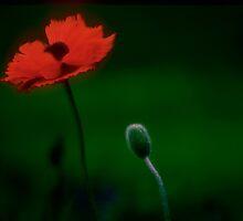 Poppy by Christina Backus