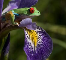 Frog on an iris by Angi Wallace