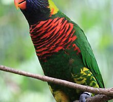 Rainbow Lorikeet by Indrani Ghose
