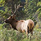 Elk in Jasper National Park by Teresa Zieba