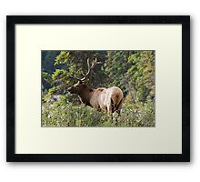 Elk in Jasper National Park Framed Print