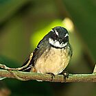 Grey Fantail #2 - Drouin, Gippsland Victoria by Bev Pascoe