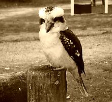 Kookaburra looks good in sepia - Hall's Gap, Vic. by EdsMum