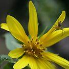 Sunflower Ft Little Spider by S S