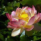 pink lotus by Cheryl Ribeiro