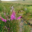 Foxgloves on the Moors by kalaryder