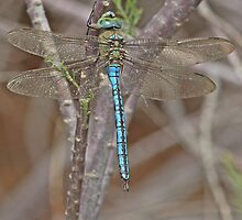 Resting Blue Emperor dragonfly by Hugh J Griffiths