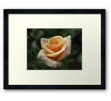 Rose Jubilee Framed Print