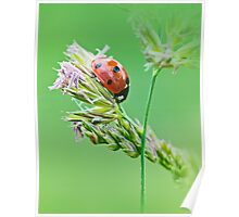 Ladybug sunlight on the field. Beautiful close up of red ladybug in nature Poster