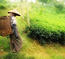 One Day In Tea Plantation by Charuhas  Images