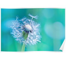 Beautiful white dandelion with seeds on aqua blue background Poster