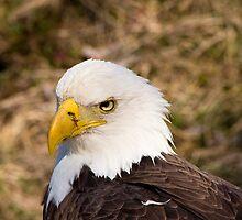 A very bald eagle. by Brandon Jones