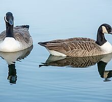 Canada Geese on Lake by Nick Jenkins