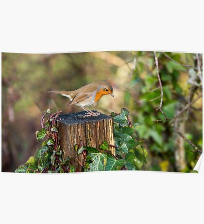 Robin on old wooden fencepost Poster