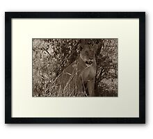 Masai Mara Lioness Framed Print