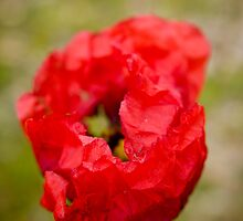 Red Poppy by Roberto Irace